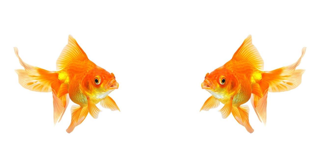 ماهی-قرمز